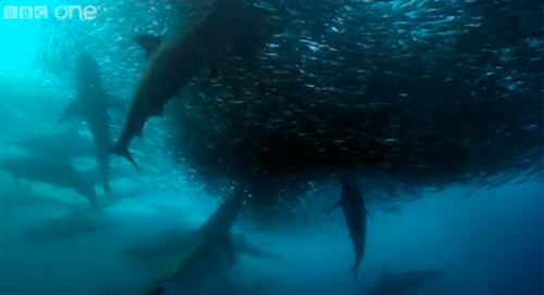 サーディン・ランに襲いかかるサメとイルカ