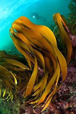 wetpixel_Dancing_kelp