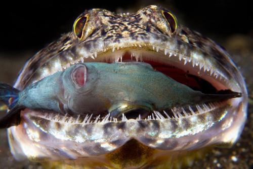 wetpixel_Ferocious_Lizardfish