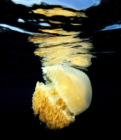 wetpixel_Jellyfish_Drifting