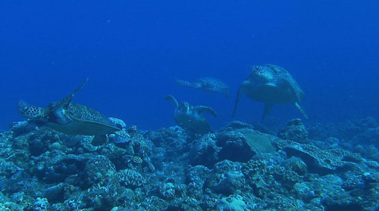 ダーウィンが来た!カメラをのせたウミガメ