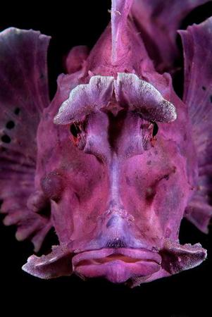 wetpixel_Portrait_of_a_Rhinopias_Scorpionfish