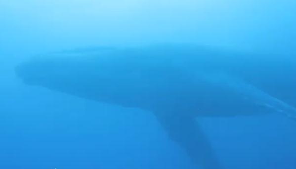 小笠原でダイビング中に現れたザトウクジラ