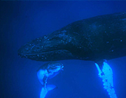 トンガ 眠るクジラ