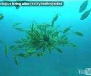 次の記事: 【動画】タコがカワハギの群れに食べられる!