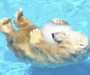 次の記事: 氷を抱きかかえるシロクマがかわいすぎると人気