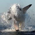 海面をジャンプするホホジロザメ 1