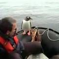シャチの群れの狩りから逃げ延びたペンギン
