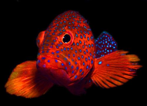 Wetpixel Coral Trout portrait