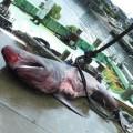 川奈の定置網にかかったウバザメ