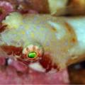 Wetpixel Clingfish portrait