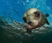 次の記事: Wetpixel今週の水中写真ベスト3 – テーマは「アシカ