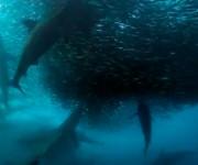 次の記事: 大迫力!サメ、イルカ、カツオドリがイワシの大群を狩りしまくる