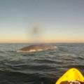 カヤックとクジラの動画