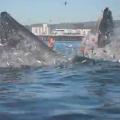サーファーが危うくザトウクジラに丸飲みされる
