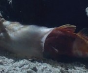 """前の記事: 驚異!自分より大きな魚を丸飲みにする""""静かな暗殺者""""イモガイ"""