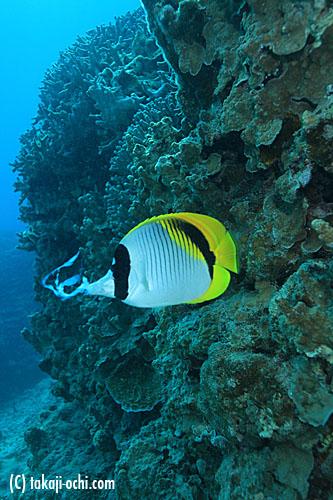 石垣島コブシメの交接