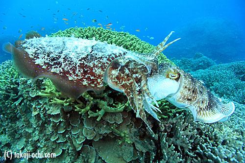 次の記事: 天候いまいちな石垣島ロケ、時期遅れのコブシメの産卵で目撃した