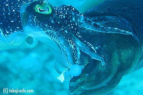 石垣島のコブシメの交接
