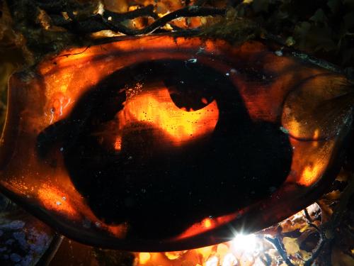 シロホシテンジクザメの卵