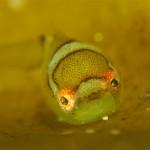 ダンゴ幼魚の天使の輪