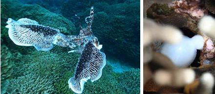 石垣島コブシメの求愛