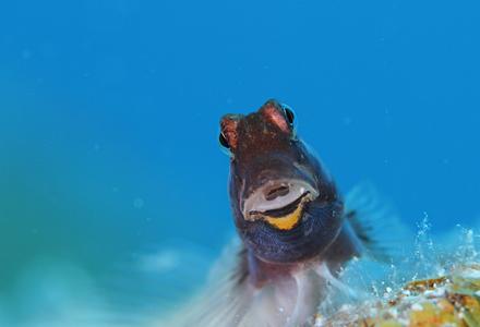 石垣島のカエルウオ