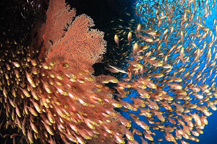 海中の花畑を、小魚の雲海が覆いつくす