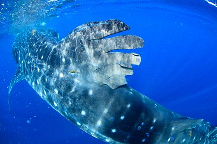 300匹のジンベエザメが群れる海・メキシコ