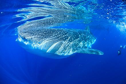 300匹のジンベエザメが 群れる海
