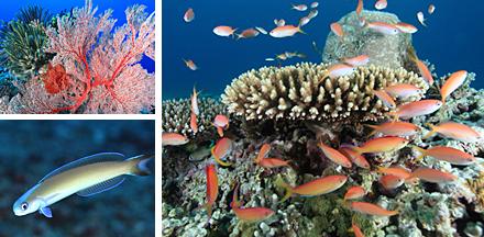 西表島のサンゴ
