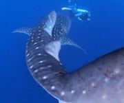 次の記事: ジンベエザメと鬼ごっこ!? 〜世界最大のサメに追いかけられる