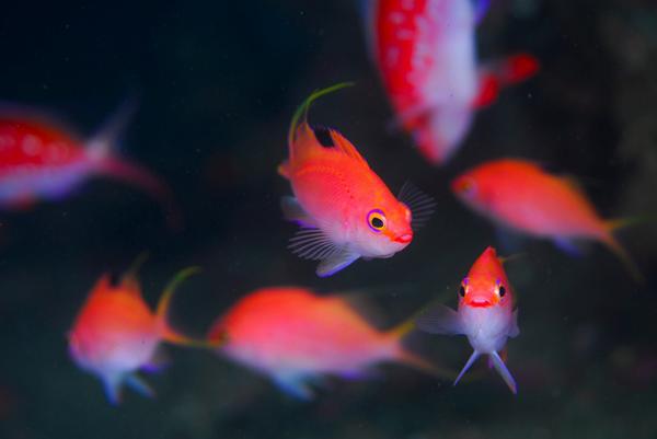 サクラダイの群れ、手前のピンク色がメス、奥の濃い赤色がオス