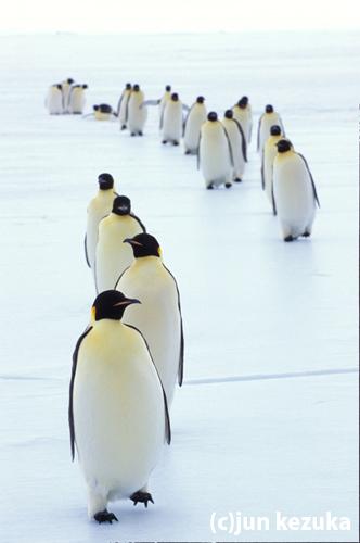 ウェッデル海アトカ湾、エサを獲りに行くコウテイペンギン