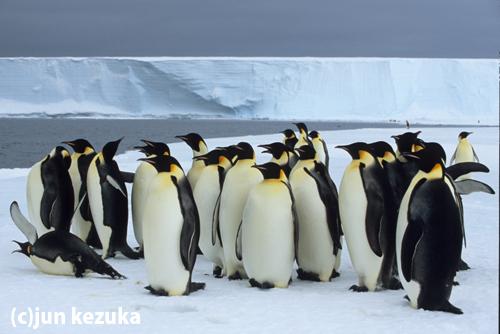 ウェッデル海アトカ湾、エサを獲りに海に入る前の準備をするコウテイペンギン