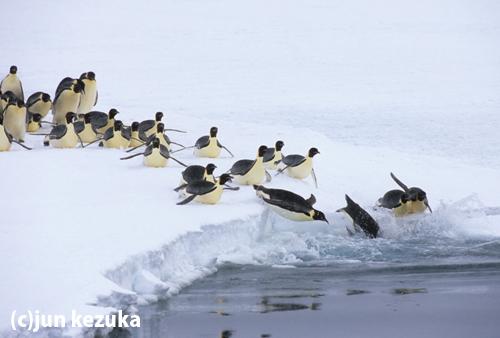 ウェッデル海アトカ湾、エサを獲りに海に入るコウテイペンギン