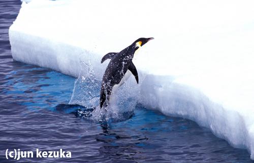 ウェッデル海アトカ湾、海氷上に飛び出すコウテイペンギン