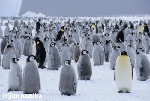 ウェッデル海リーセルラーセン氷棚、コウテイペンギンのルッカリー
