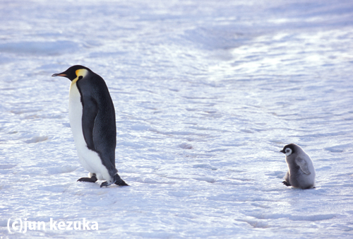 ウェッデル海アトカ湾コウテイペンギンの親子