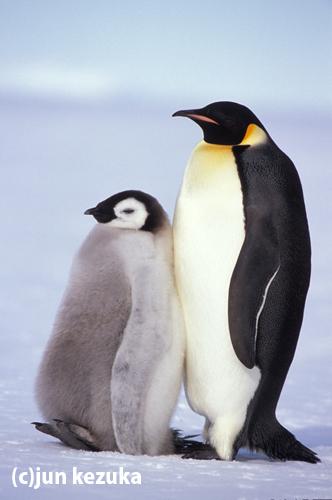 ウェッデル海アトカ湾、コウテイペンギンの親子
