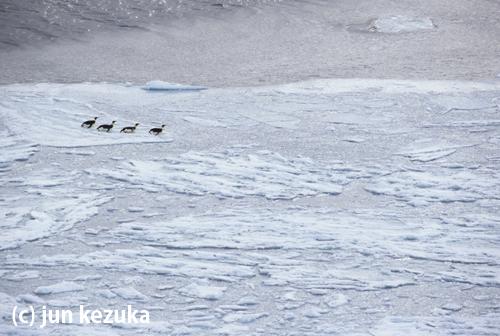 コウテイペンギンと海氷