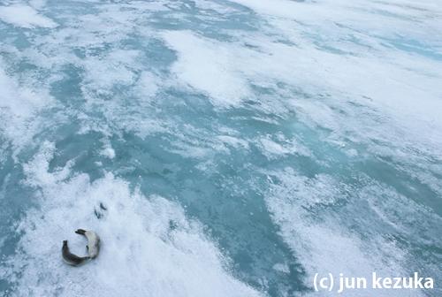 カニクイアザラシと海氷