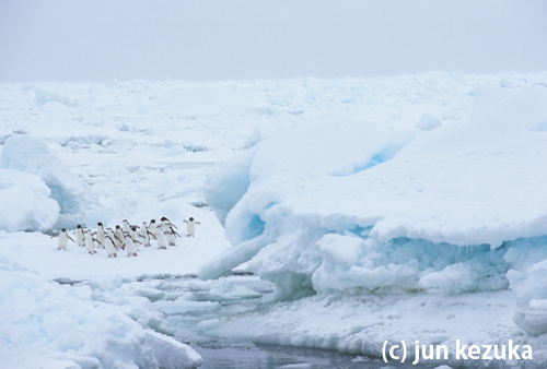 サウスサンドウィッチ諸島。海氷上に乗るアデリーペンギンとヒゲペンギン