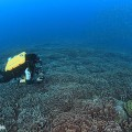 沖縄のリュウモンサンゴの群落