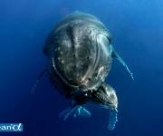 前の記事: トンガのザトウクジラ Vol.2 (写真:越智隆治)