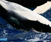 前の記事: トンガのザトウクジラ Vol.4 (写真:越智隆治)