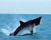 ホオジロザメが美しく舞う 南アフリカの海