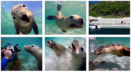 西オーストラリア カナック島のアシカ