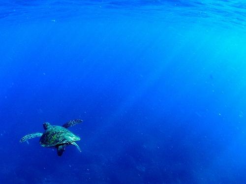 御蔵島のドルフィンスイムのカメ(2012年8月)