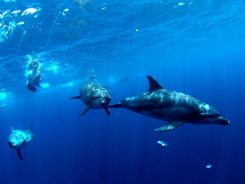 御蔵島のドルフィンスイム(2012年8月)